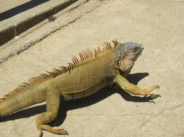 "Iguana at the ""iguana farm"", Roatan Island"