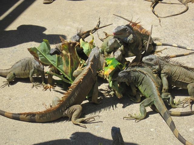 Iguanas fighting over a leaf, Roatan Island