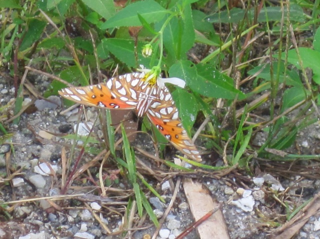 Monarch butterfly on St Joseph Peninsula State Park