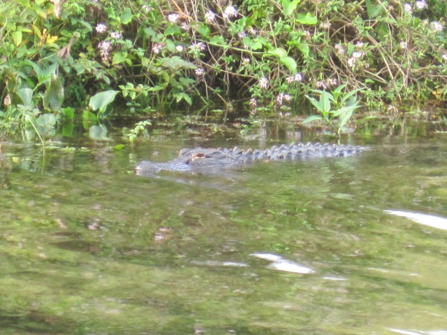 Alligator at Wakulla Springs
