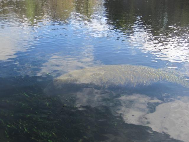 Manatee at Wakulla Springs