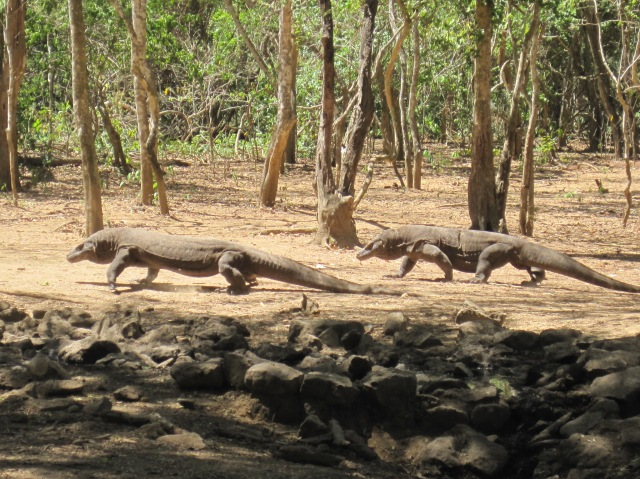 Two Komodo dragons