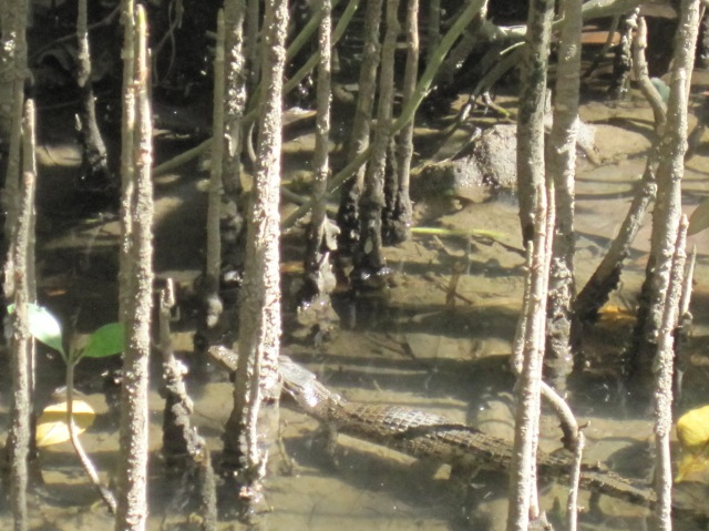 The largest croc we saw in the wild - on the Daintree river
