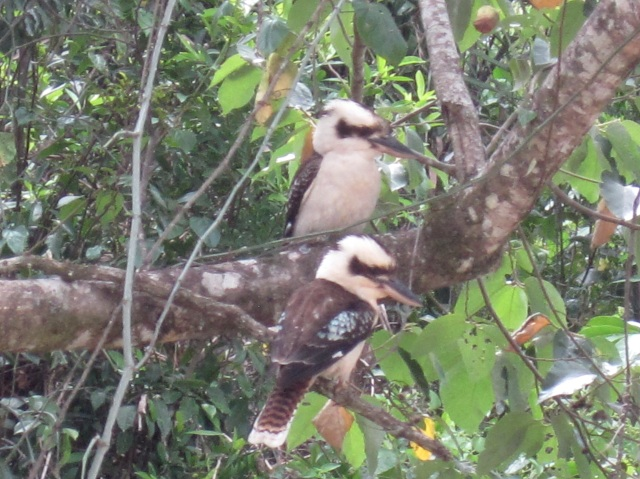 Kookaburras at Finch Hatton Gorge