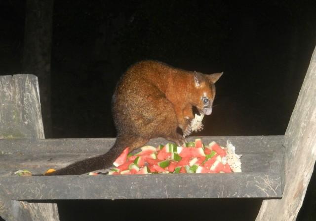 Possum at Broken River Resort