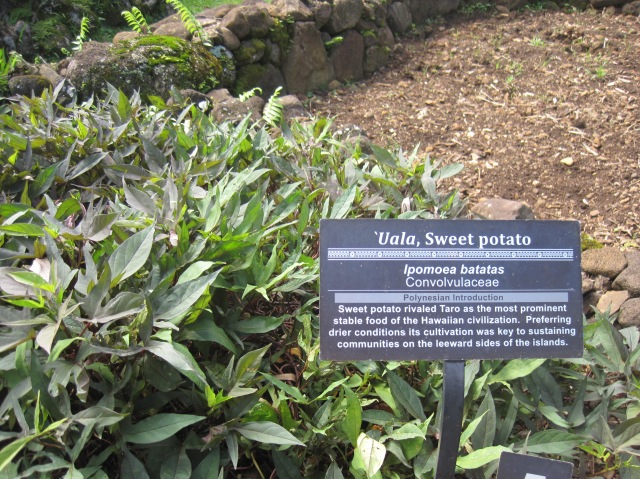 Sweet potato plant, Limahuli Tropical Gardens, Kauai