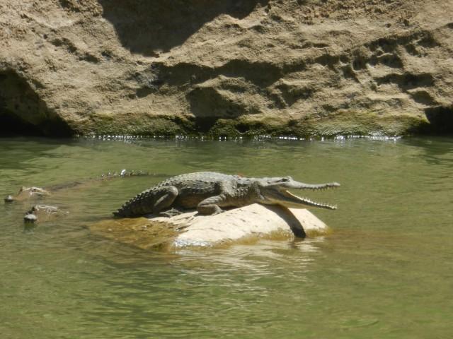 Freshwater crocodile in Windjana Gorge