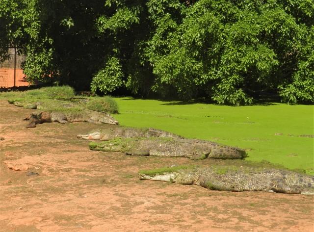 Crocodiles at the Crocodile Park, Broome
