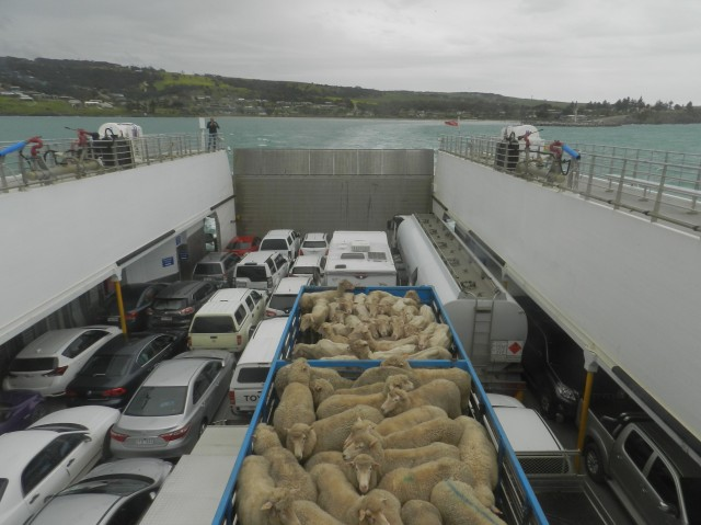 Sheep bus on the Kangaroo Island ferry