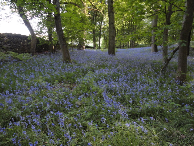 Bluebells in Bolton Woods