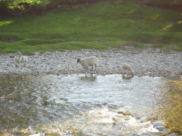 Lambs near Grassington