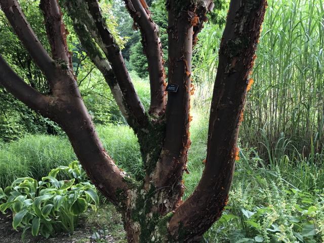 Interesting bark, Threave Gardens