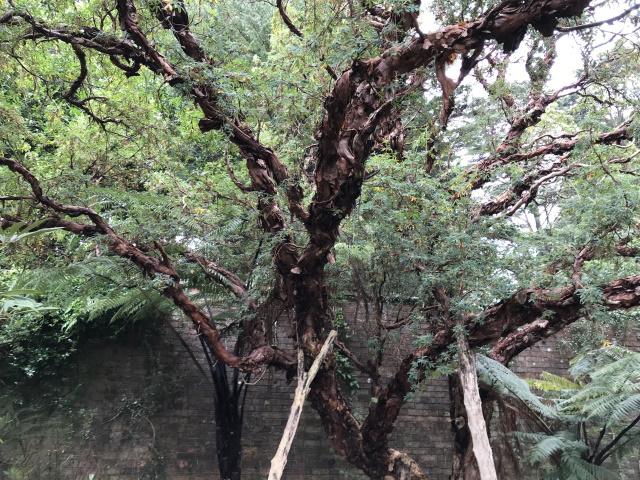 Filo pastry tree, Logan Botanic Garden